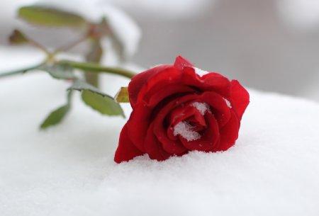 rose snow