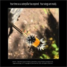 """Spotted Tussock Moth Caterpillar, Lower Piedra Campground, Pagosa Springs, Colorado"""" Copyright © Ben Archer"""